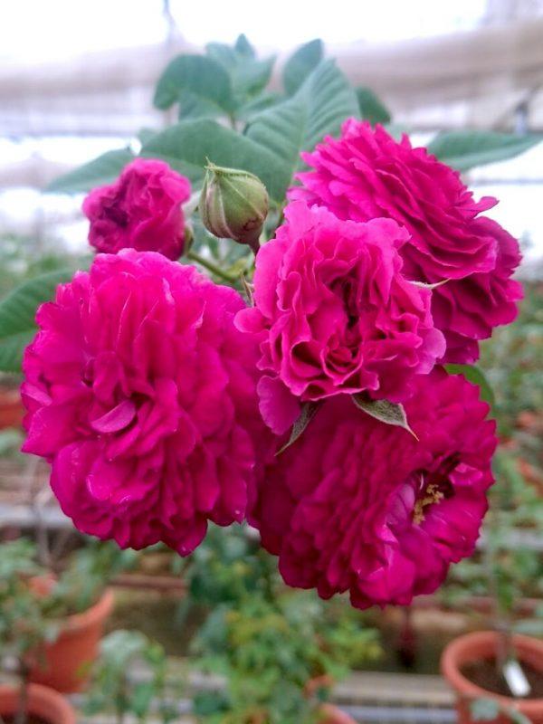 'Purple Lodge' Roses » Rose Plants
