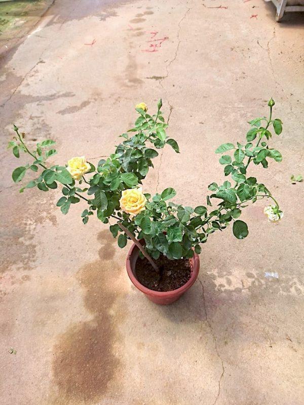 'Queen Sirikit' Rose Plant » Rose Plants