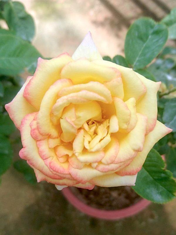 Rosa 'Queen Sirikit' » Rose Plants