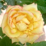 'Queen Sirikit' Rose