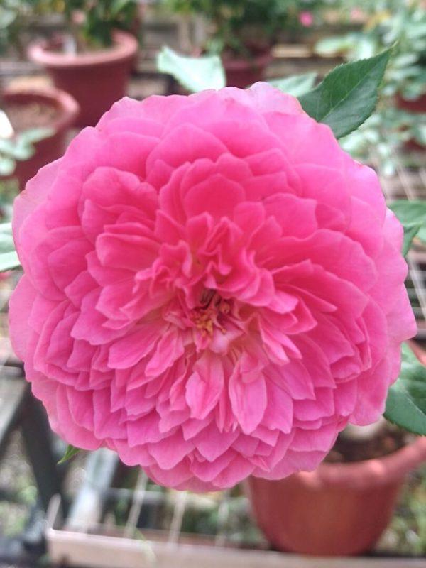 Japanese Rose 'Robe à la Française' » Rose Plants