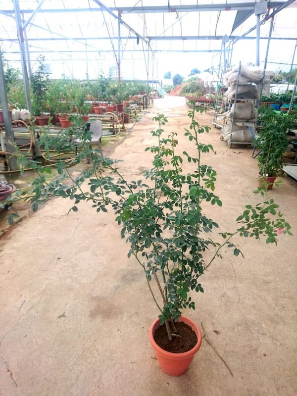 'Romantic Tutu' Rose Plant 1.4 m high » Rose Plants