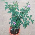 'Seiryu' Rose Plant with 13 buds » Rose Plants