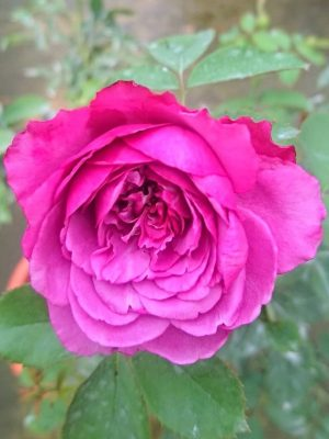 'Small Red Plum Juice' Rose