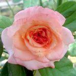 'Summer of Love' Rose