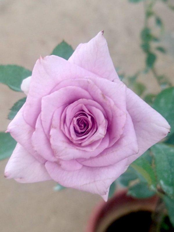 Japanese Roses 'Sweet Moon' » Rose Plants