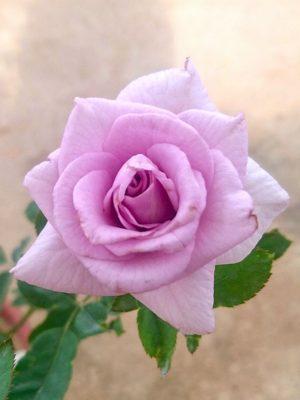 'Sweet Moon' Rose