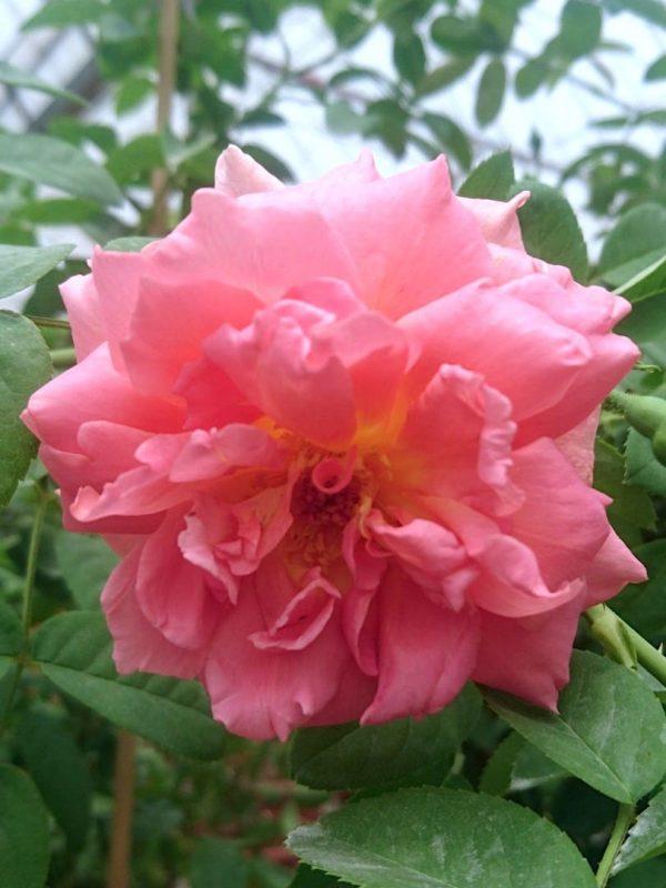 Rosa 'The Endeavour' » Rose Plants