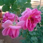 'The Endeavour' Rose