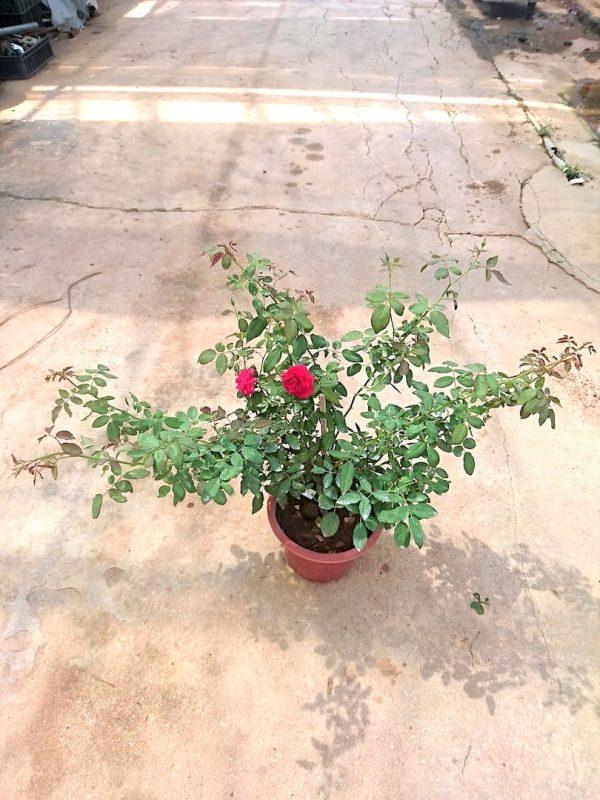 'Valentine' Rose Plant » Rose Plants