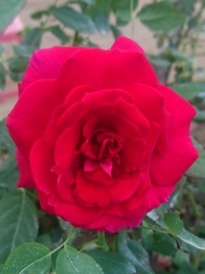 'Valentine' Rose