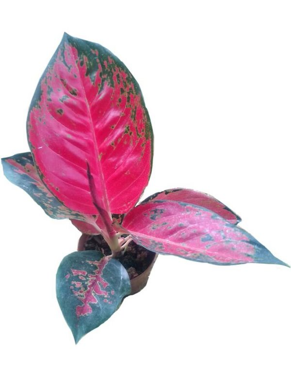 Aglaonema Red » Foliage