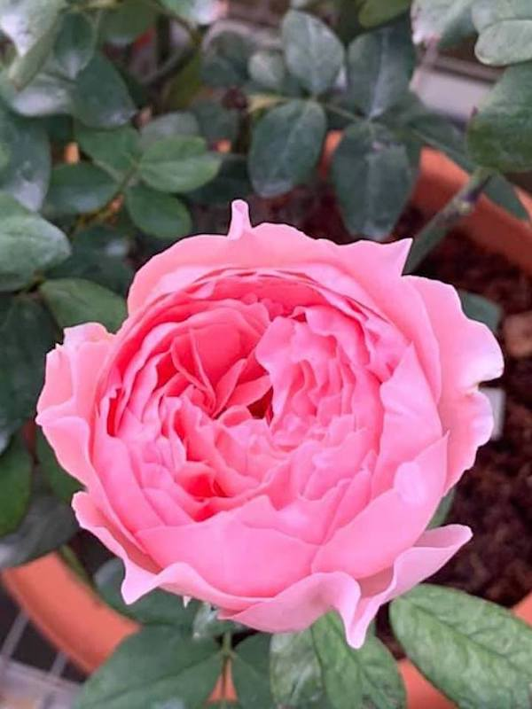 'Anne-Sophie Pic' Rose Plant