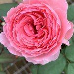 'Anne-Sophie Pic' Rose