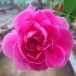 'Chulalongkorn' Rose