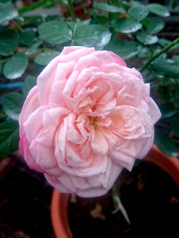 'Eve Classic Perfume' Rose » Rose Plants