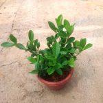 Gardenia 23 cm (d) Pot Size » Flowering Plants