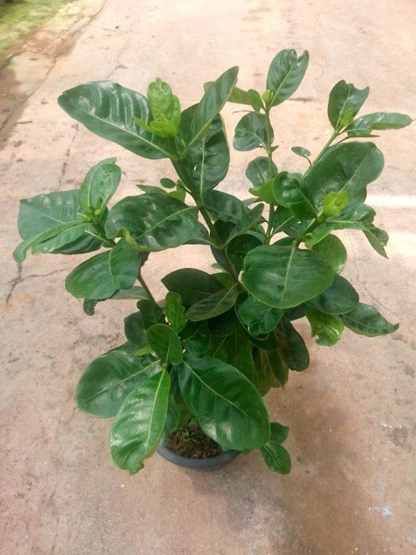 Gardenia 26 cm (d) Pot Size » Flowering Plants