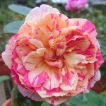 'Julie Andrieu' Rose
