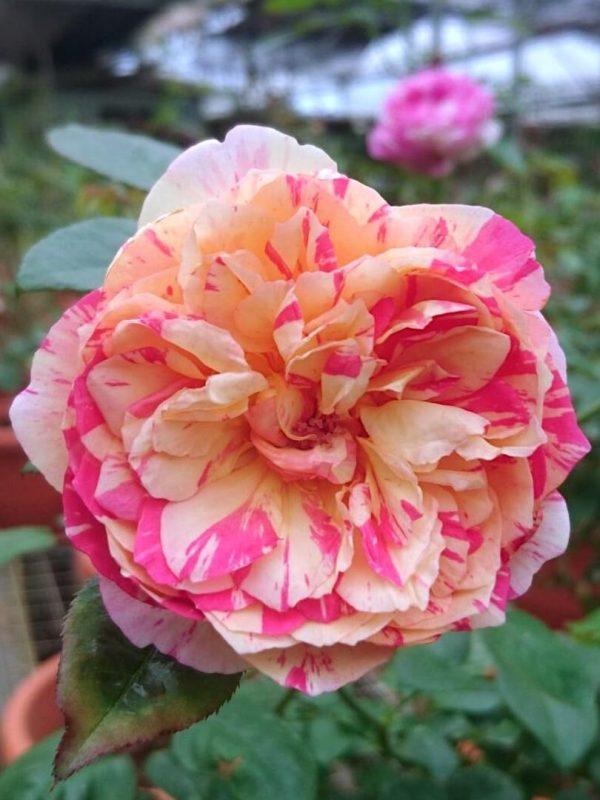 'Julie Andrieu' Rose » Rose Plants
