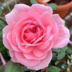 'Lady Heirloom' Rose