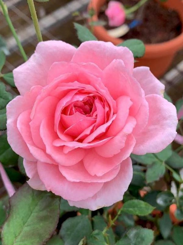'Lady Heirloom' Rose » Rose Plants