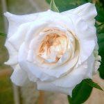 'Maria Shriver' Rose