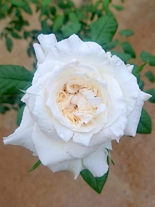 Rosa 'Maria Shriver' » Rose Plants