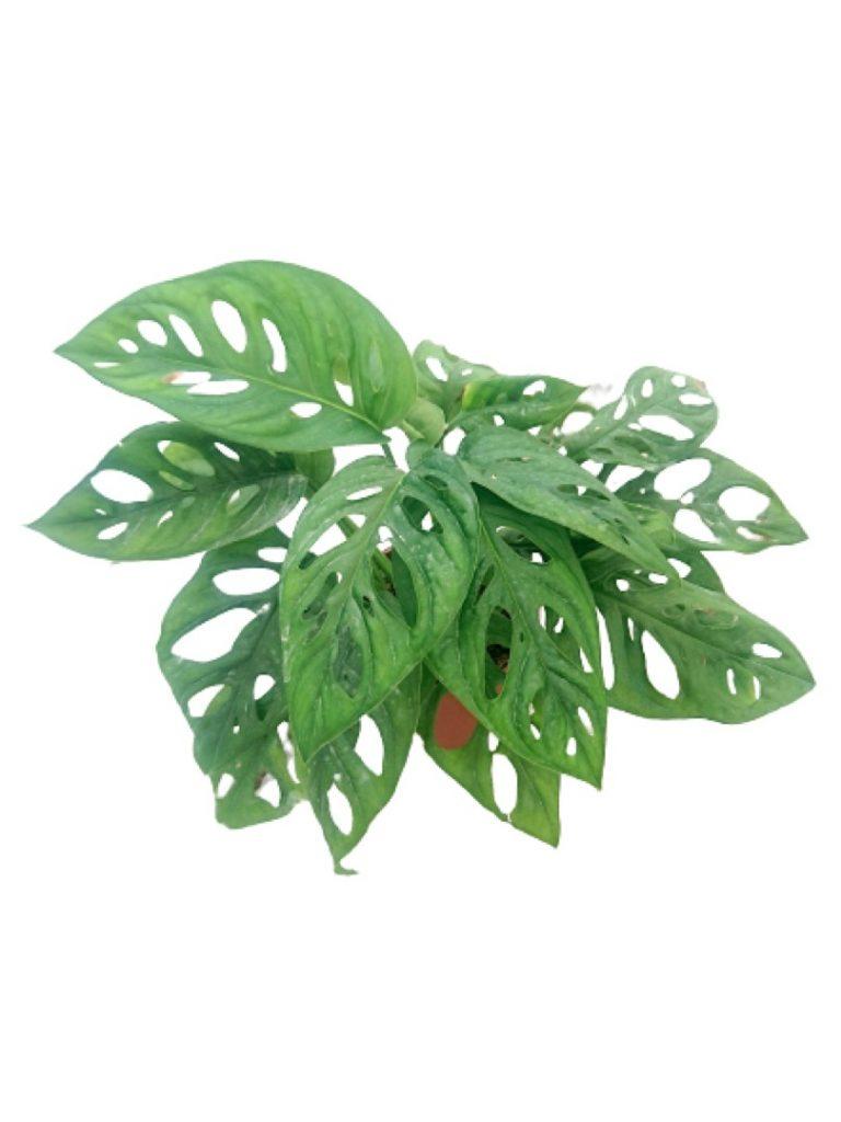 Monstera Adansonii » Foliage