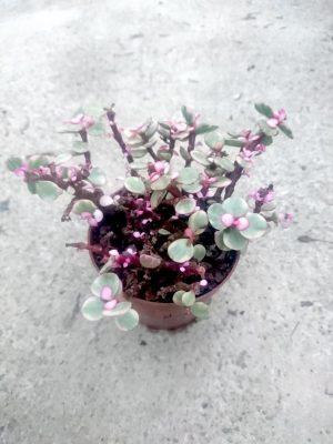 Pink Jade Plant