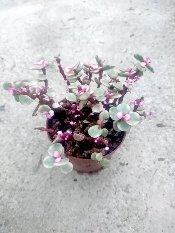 Pink Jade Plant » Foliage