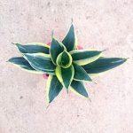 Sansevieria Hahnii 'Black Star'