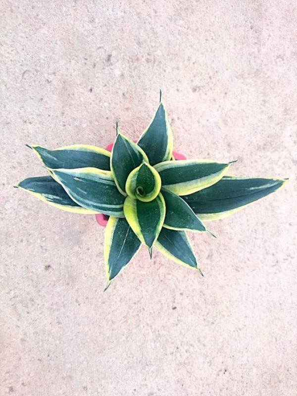 Sansevieria Hahnii 'Black Star' » Foliage