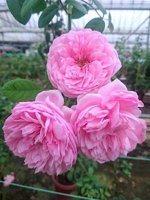 'Spirit of Freedom' (SOF) Rose