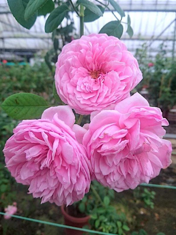 Rosa 'Spirit of Freedom' » Rose Plants