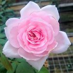 'The Ancient Mariner' Rose