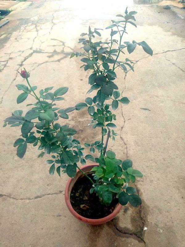 'All 4 Love' Rose Plant » Rose Plants