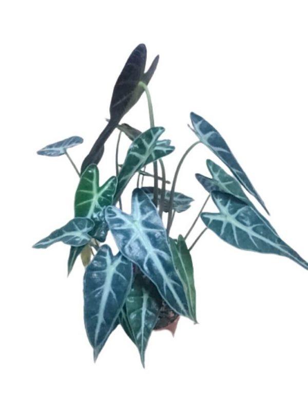 Alocasia Bambino Arrow » Foliage
