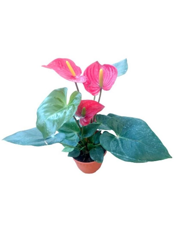 Anthurium 15 cm Pot » Flowering Plants