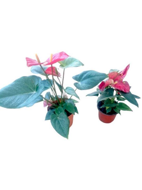 Anthurium Plants » Flowering Plants