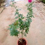 'Artly Close' Rose Plant » Rose Plants