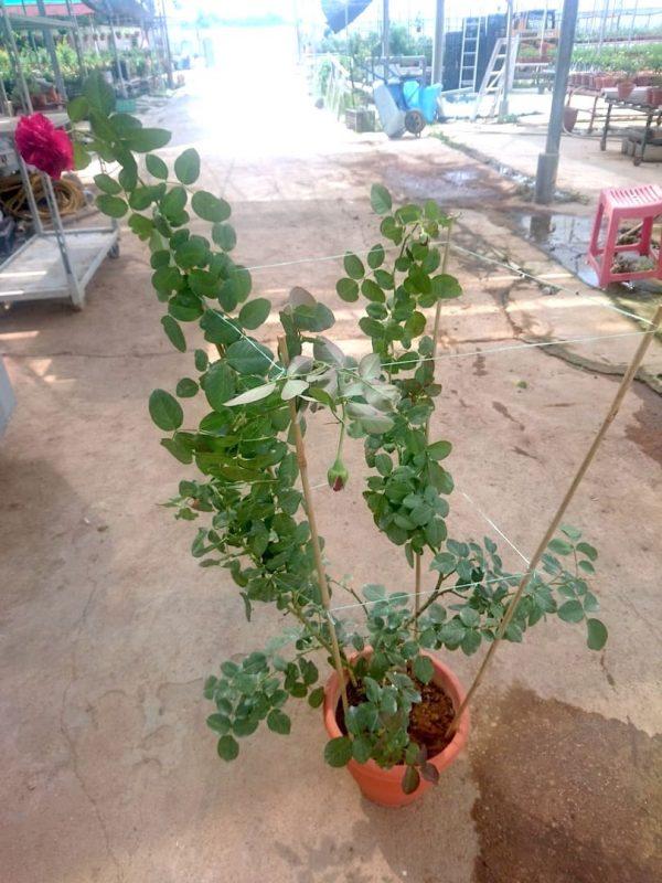 'Best Impression' Rose Plant » Rose Plants