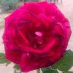 'Best Impression' Rose