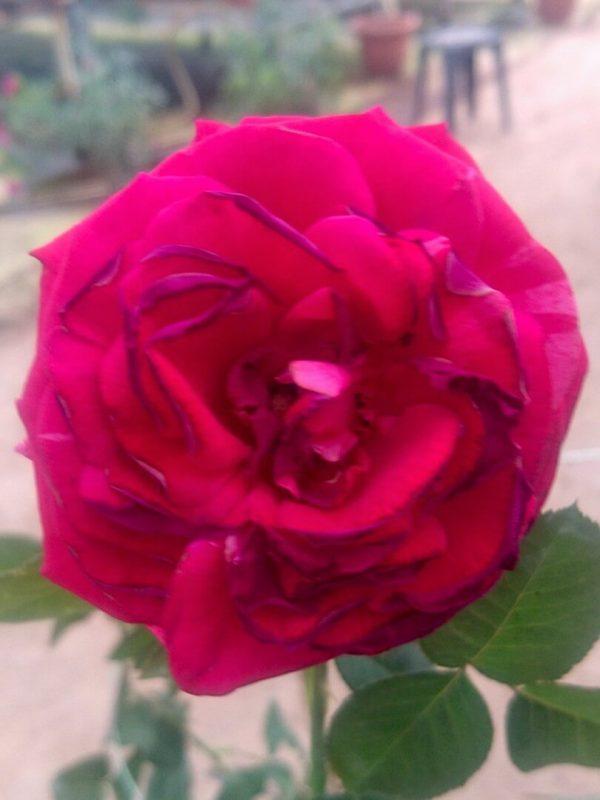 Rosa 'Best Impression' » Rose Plants