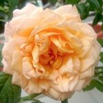 'Capri' Rose