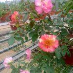 'Citrus Splash' Rose