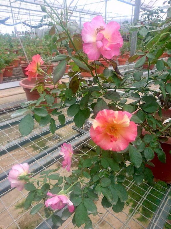 'Citrus Splash' Roses » Rose Plants