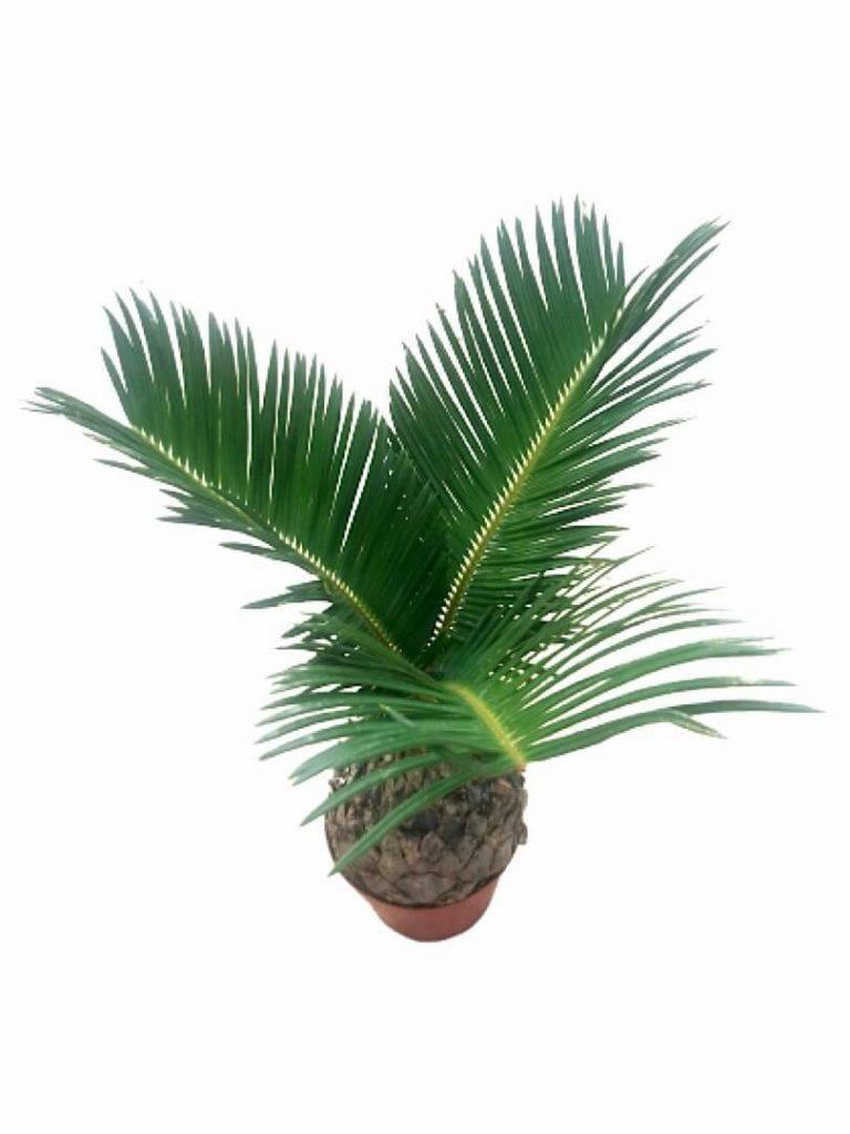 Cycas Palm 10 cm (D) » Foliage