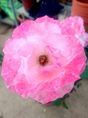 'Dolcezza' Rose