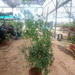 'Graham Thomas' Rose Plant 1.8 m » Rose Plants